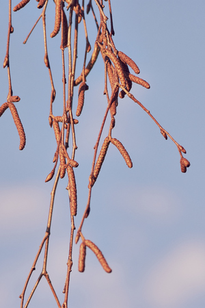 Birch branches with birch flowers in the early stage of growth