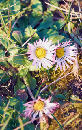 Three daisies in the field are blooming