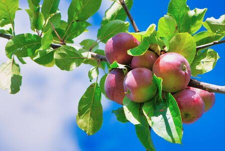 Photo pour red fresh ripe apples on the branch against blue cloudy sky - image libre de droit