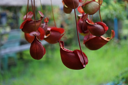 Tropical pitcher plant with many flower cups, carnivorous plant eating insect, climbing plant
