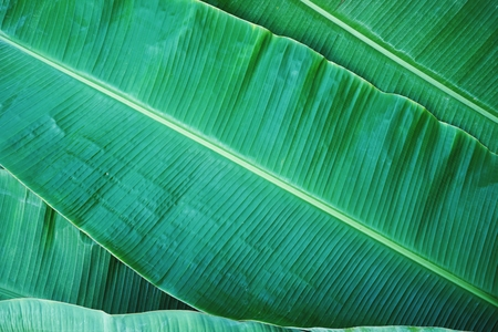 Foto per Banana leaf texture, green exotic tropical pattern background concept - Immagine Royalty Free