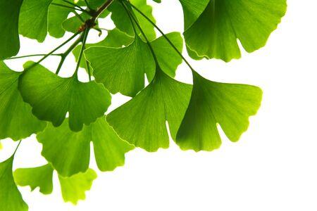 Photo pour Ginkgo biloba green leaves on a tree. Ginkgo Biloba Tree Leaves on light sky. - image libre de droit
