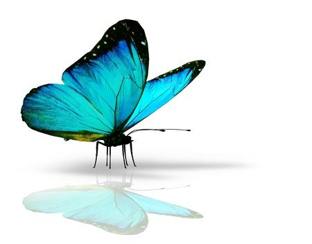 Photo pour Turquoise butterfly on white background - image libre de droit