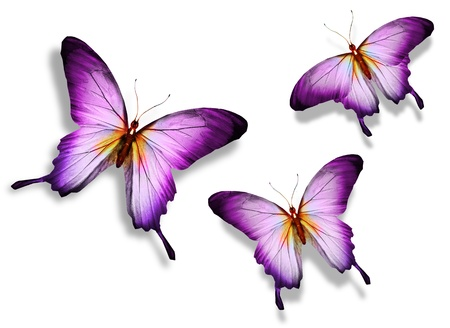 Photo for Three violet butterfly, isolated on white background - Royalty Free Image