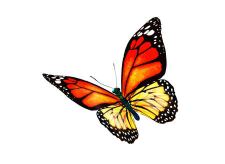 Photo for Color monarch butterfly, isolated on the white background - Royalty Free Image