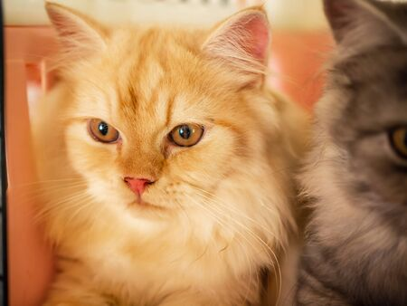 The yellow-gray Persian cat lied in a cage looking at something.