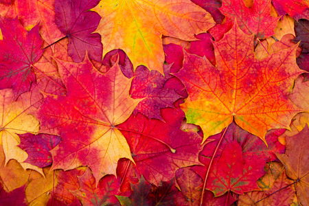 Background from bright autumn leaves of a maple