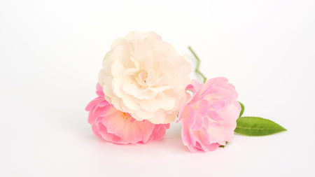 Photo pour Pink and white rose flower on a white background. - image libre de droit