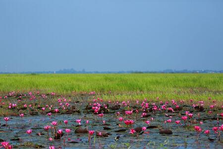Lotus swamp in thailand
