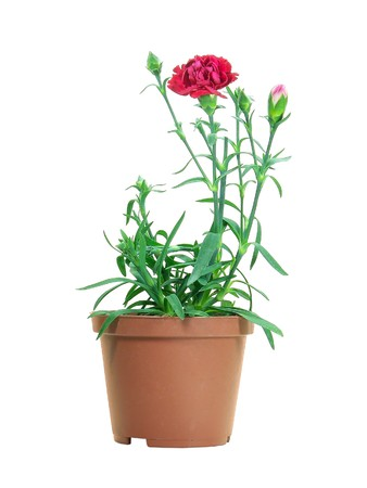 Potted carnation plant isolated over white background