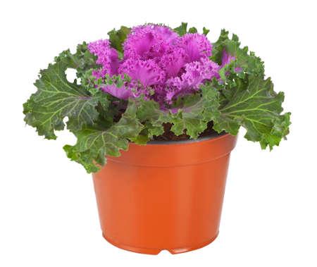 Ornamental Purple Kale or cabbage in flowerpot on white