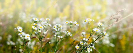 Photo pour White chamomile flowers on a summer sunny day.  Wild flowers in the meadow with sun rays.. - image libre de droit