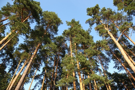 pine trees against the blue sky, Russia
