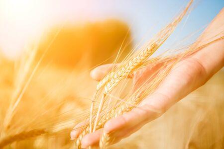 Photo pour Image of human touching wheat spike - image libre de droit