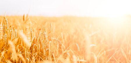 Foto für Picture of wheat field with blue sky, summer day. - Lizenzfreies Bild