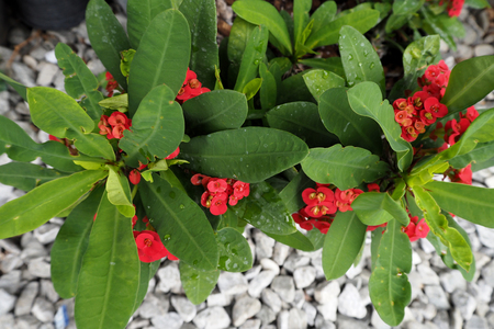The Red Euphorbia milii with green leaf very beautiful