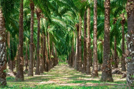 Rows of oil palm tree in south of Thailand.