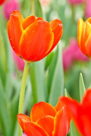 Photo pour Colofful tulips - image libre de droit