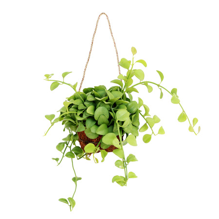 hanging basket plant isolated on white background