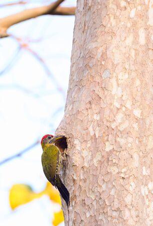 Photo pour Laced Woodpecker perched on tree  at Kaeng Krachan national park,Phetchaburi - image libre de droit