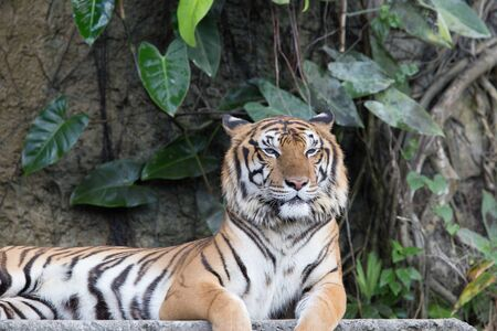 Photo for Indochinese Tiger resting on a stone bridge in front of waterfall - Royalty Free Image