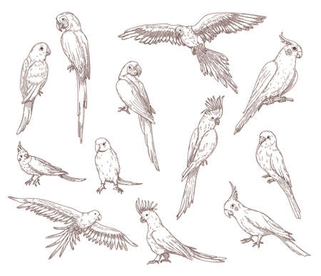Illustration pour Hand drawn sketches of parrots. Vector set of exotic birds: cockatoo, macaw, ara. Illustrations drawing with pencil in vintage style. Jungle, fauna, nature, pet concept - image libre de droit