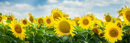 Photo for Beautiful image Field of sunflowers against the blue sky. Banner. - Royalty Free Image
