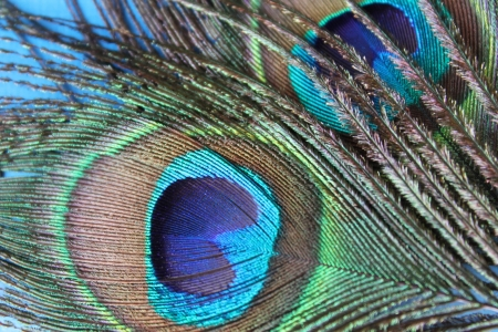 Photo with bright peacock feathers
