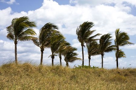 Palm Trees Blowing in the Wind in Florida