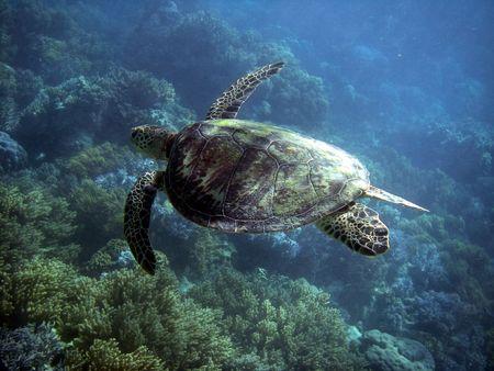 Sea Turtle in Great Barrier Reef - Australia