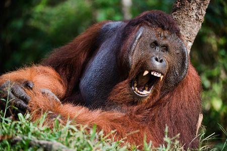 Indonesia, Borneo - Yawning Orangutan sitting on a tree