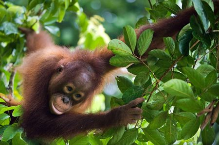 Indonesia, Borneo - Young Orangutan sitting on the tree