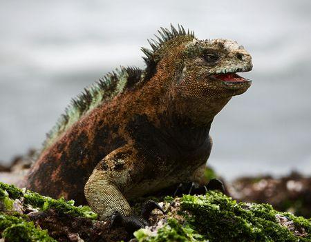 The marine  iguana poses.3 / The sea iguana, having opened a mouth, poses on stones with seaweed.