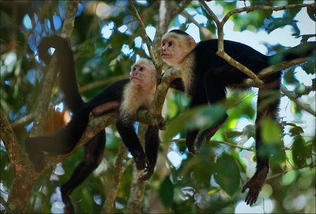 Two Capuchins. Two Capuchins in a midday sun it is lazy lie on branches of a tree and have a rest.