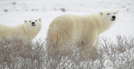 Large polar bears on the arctic snow near Hudson Bay, sniffing the air.Snow.Tundra.
