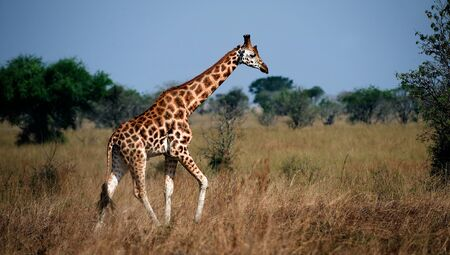 Uganda. Queen Elizabeth National Park.The giraffe walks on savanna.