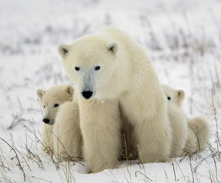 Polar she-bear with cubs. The polar she-bear  with two kids on snow-covered coast.
