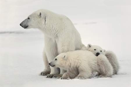 White she-bear with cubs. A Polar she-bear with two small bear cubs. Around snow.