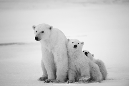 White she-bear with cubs. A Polar she-bear with two small bear cubs. Around snow.Black and white photo.
