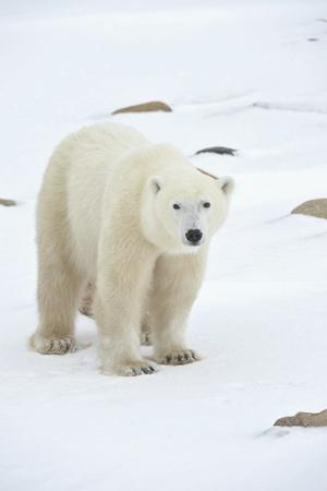 Polar bear in a native habitat. Snow. A frost. Winter.