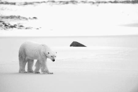 Polar Bear on the snow. Black and white photo.