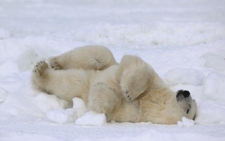 Rest of a polar bear. A polar bear having a rest on ice at water.
