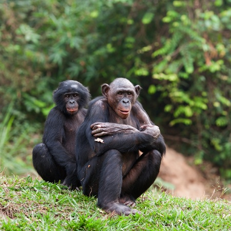 Pair portrait Bonobo on a grass