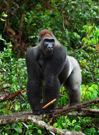 Silverback - adult male of a gorilla. Western Lowland Gorilla.