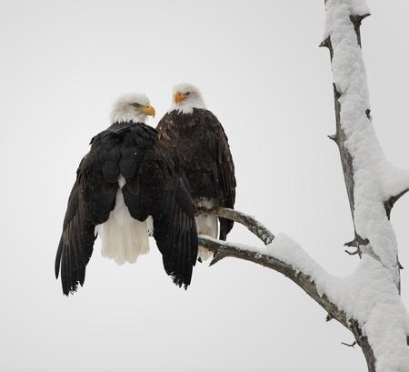 Two eagles ( Haliaeetus leucocephalus )  sit on the dried up tree