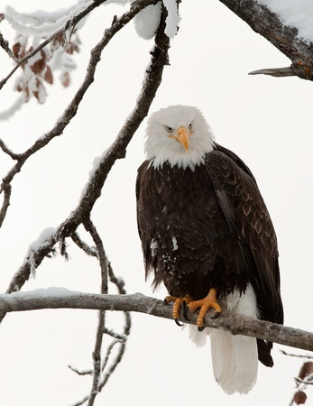 Portrait of an eagle of a dead tree sitting on a branch.Haliaeetus leucocephalus washingtoniensis.