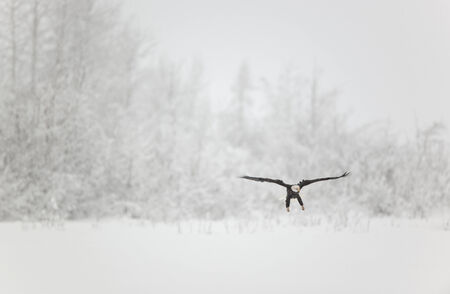 Eagle In The Snow Mural Wallpaper