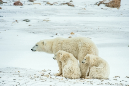 Polar she-bear with cubs. A Polar she-bear with two small bear cubs on the snow. The polar bear (Ursus maritimus)