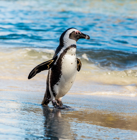 Photo pour African penguin  on the sandy beach. African penguin ( Spheniscus demersus) also known as the jackass penguin and black-footed penguin. Boulders colony. Cape Town. South Africa - image libre de droit
