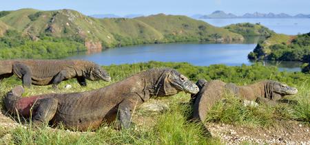 Photo pour Komodo dragon ( Varanus komodoensis ) in natural habitat. Biggest living lizard in the world.  island Rinca. Indonesia. - image libre de droit